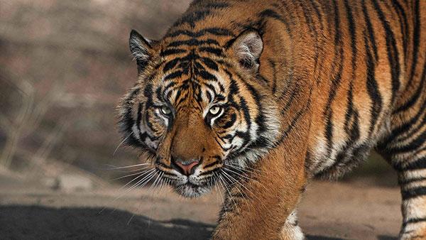 câmera-ao-vivo-tigre-zoológico-san-diego