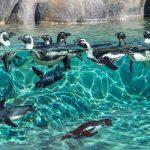 câmeras-ao-vivo-pinguins-sandiego