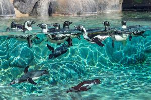 Pinguins – San Diego Zoo