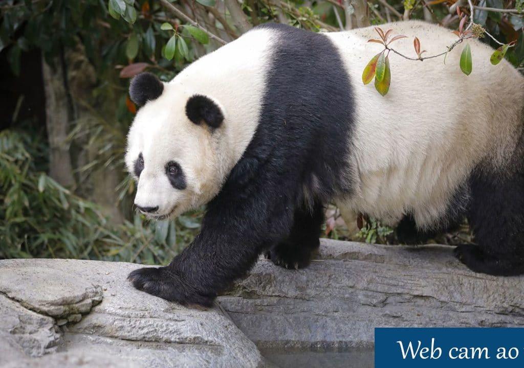 Live Webcam Panda, San Diego Zoo