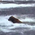 web-cam-ao-vivo-de-ursos